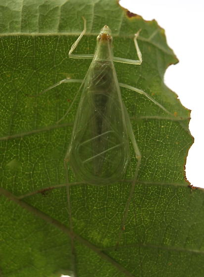Oecanthus fultoni - male