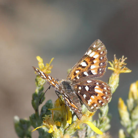 Mormon metalmark - Apodemia virgulti - female