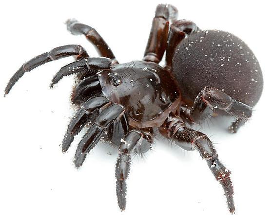 mygalomorph spider from sandhill habitat - Ummidia