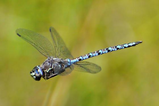 Zig Zag Darner in flight #1 - Aeshna sitchensis - male
