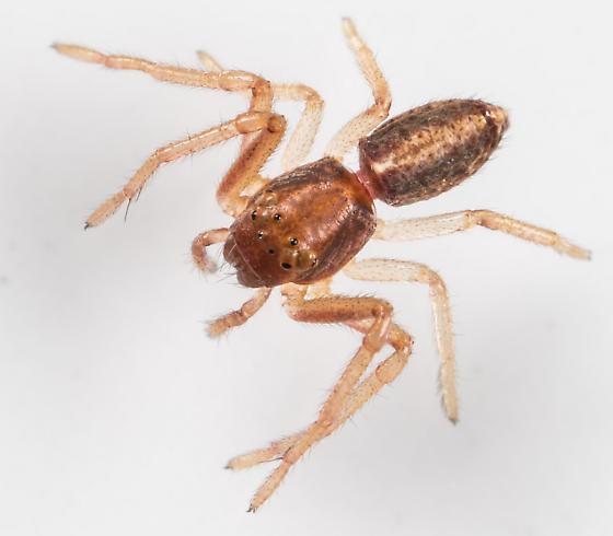 Spider - Tmarus minutus - female