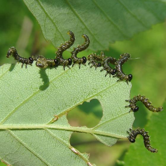 Sawfly larvae on river birch - Craesus latitarsus