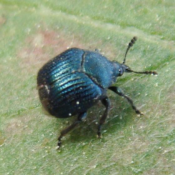 Thief Weevil? - Pterocolus ovatus