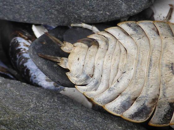 Isopod - Ligia pallasii