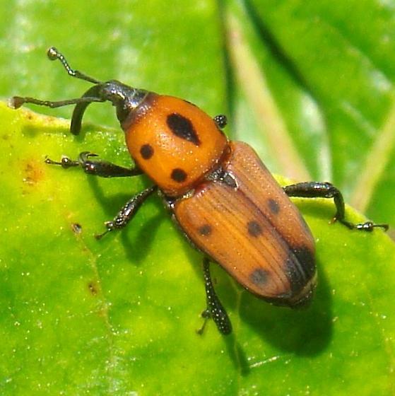 Cocklebur Weevil - Rhodobaenus quinquepunctatus