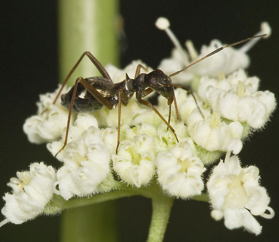 Ant mimic heteropteran from montane central Sierra - Dacerla mediospinosa