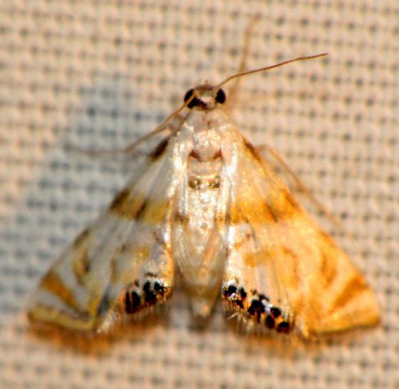 Petrophila drumalis - Argyractis drumalis  - Argyractis drumalis