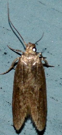 Blastobasid Moth - Holcocera
