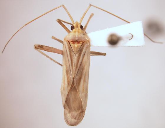 Mirid at lights - Phytocoris - male