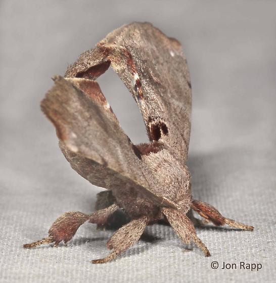 Spotted Apatelodes - Apatelodes torrefacta