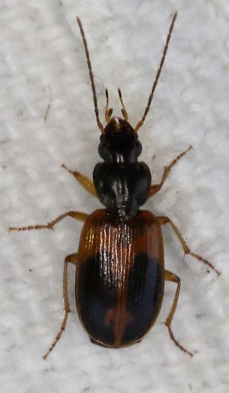 Beetle - Badister elegans