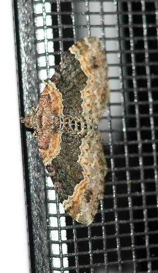 little vertical moth - Xanthorhoe ferrugata