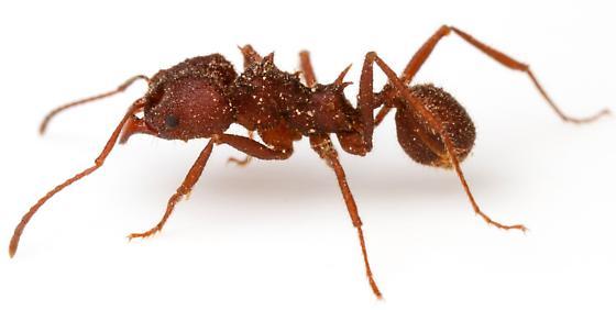 Acromyrmex versicolor? - Acromyrmex versicolor