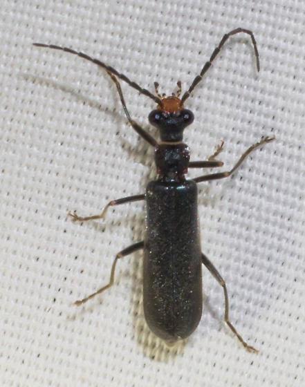 Orange-faced soldier beetle - Dichelotarsus