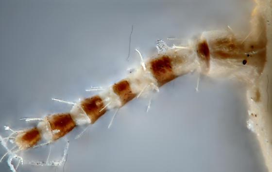 Pityococcus rugulosus, preserved adult female, dorsal left antenna - Pityococcus rugulosus - female