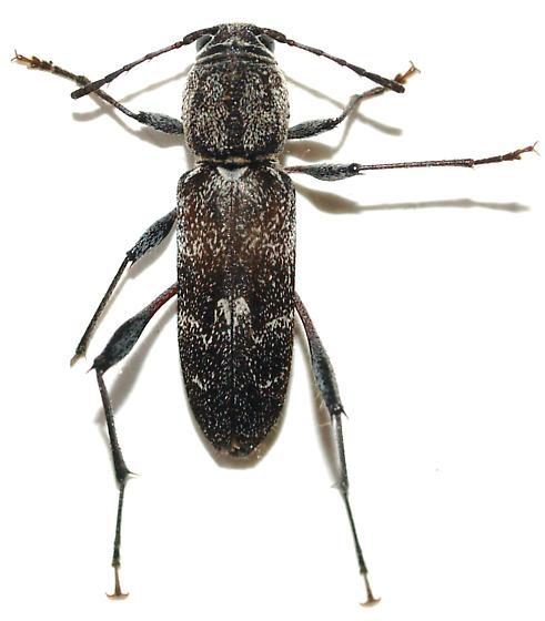 Mnt Lemmon  - Neoclytus irroratus