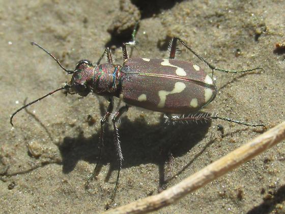 Cicindela oregona guttifera - Cicindela oregona - female