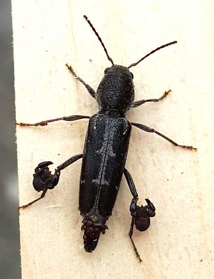 HELP! What is this? - Xylotrechus sagittatus