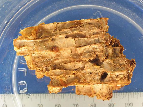 J larvae abode - Mycetochara binotata