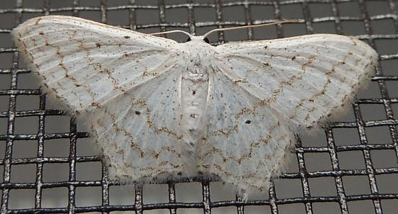 Dot-lined wave for September - Idaea tacturata