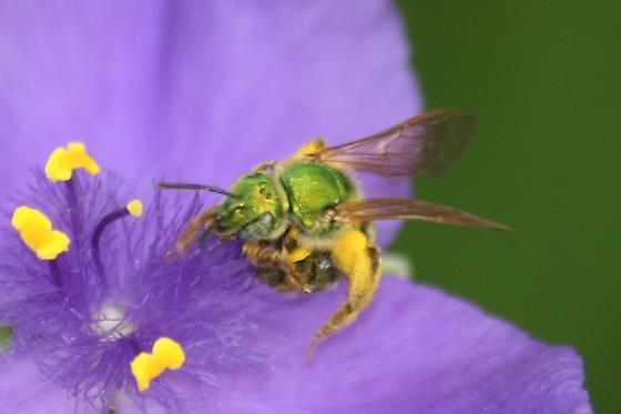 Green Bee with striped abdomen - Agapostemon virescens