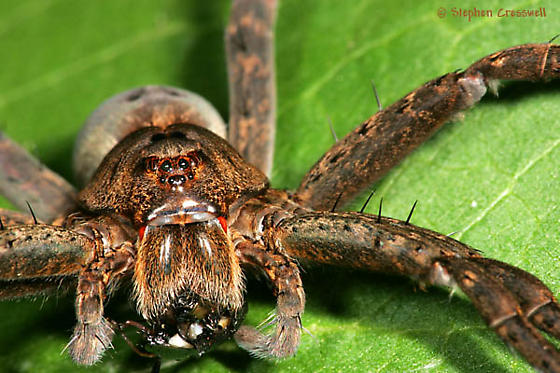 Bristly, Huge Spider, Some Red - Dolomedes vittatus - female