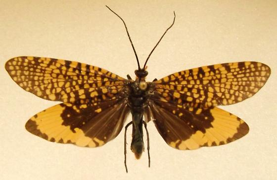 Orange TRICHOPTERA - Oligostomis