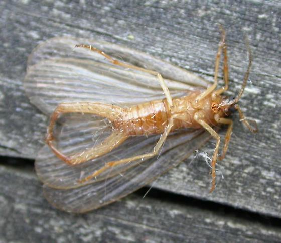 Merope tuber - Forcepsfly or Earwigfly - ventral view - Merope tuber - male