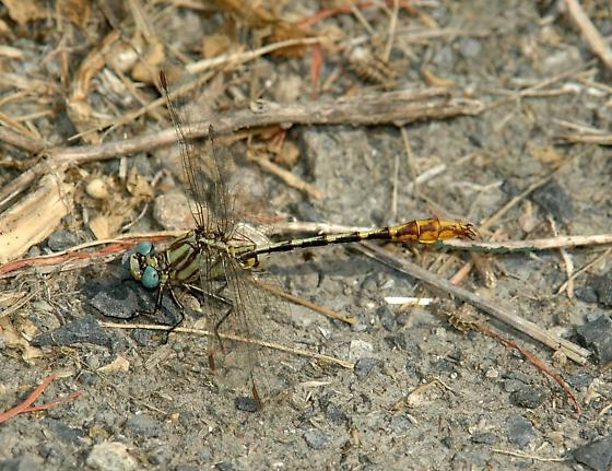 dragonfly - Phanogomphus militaris - male