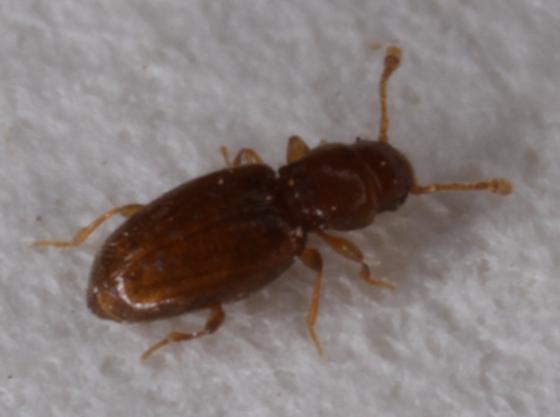 Minuscule beetle - Holoparamecus
