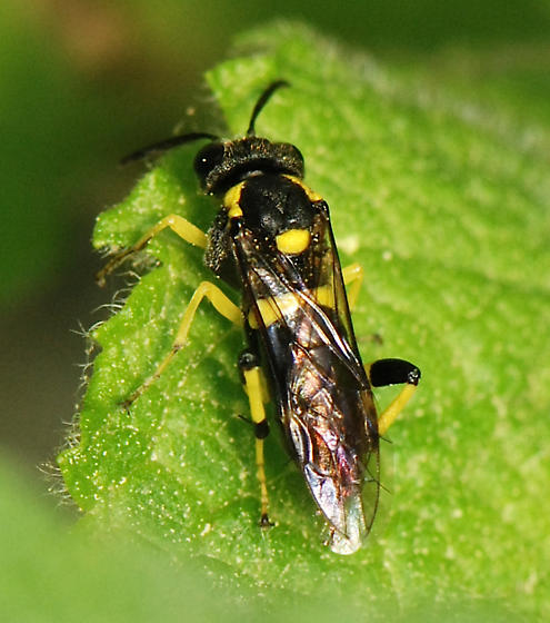 black and yellow sawfly - Macrophya bifasciata