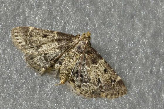 Kitchen Moth   Pyralis Manihotalis   Female
