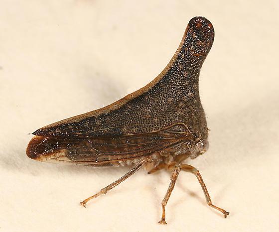 treehopper - Glossonotus turriculatus