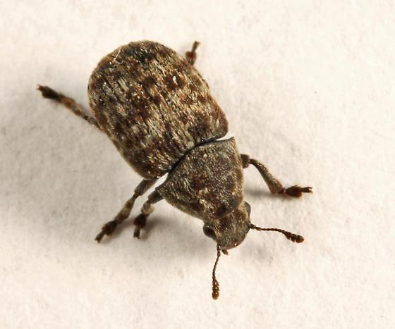 beetle - Anthribus nebulosus