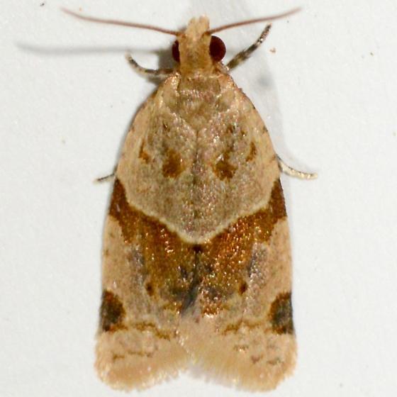 Garden Tortrix - Clepsis peritana