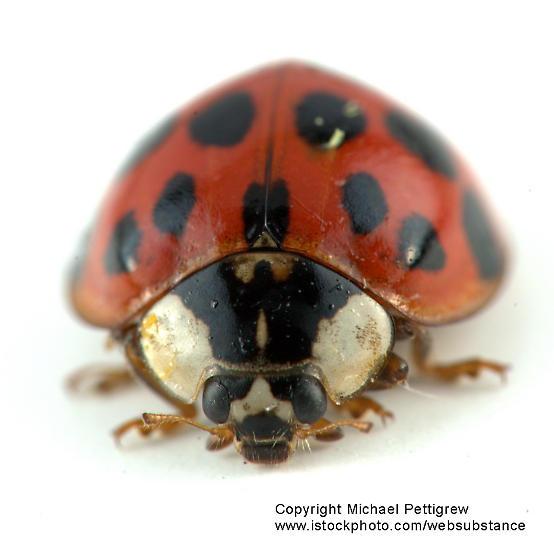 ladybug beetle - Harmonia axyridis (updated) - Harmonia axyridis