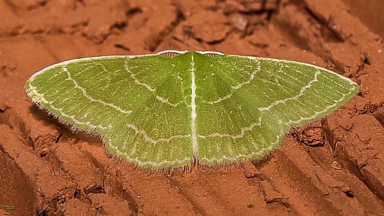 Synchlora species? - Synchlora aerata - male