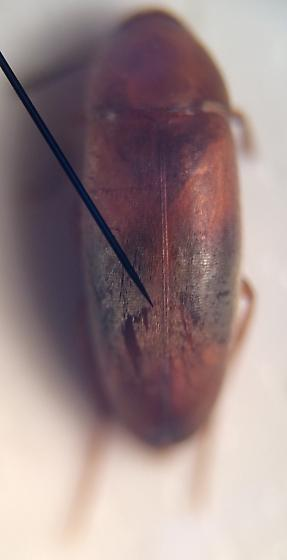 Beetle - Pentaria trifasciata