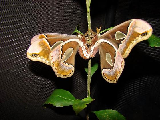 Rothschildia Lebeau Forbesi (Forbes' Silkmoth) - mating pair (male on right) - Rothschildia forbesi - male - female