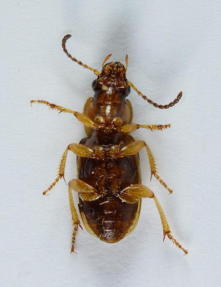 Seedcorn Beetle? - Stenolophus