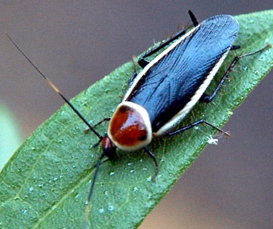 Leaf Roach - Pseudomops septentrionalis
