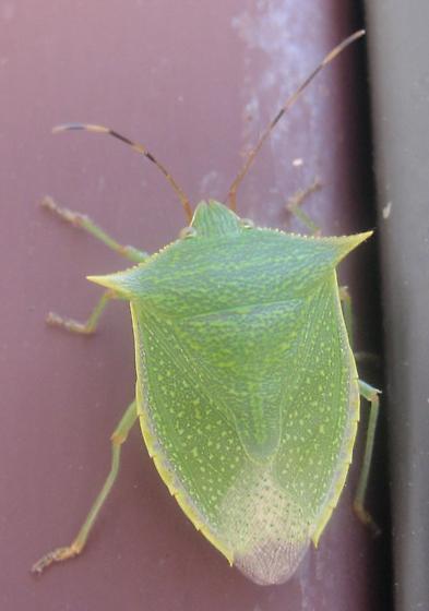 Loxa? but with banded antennae - Loxa flavicollis