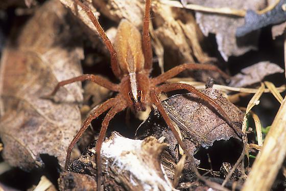 Wolf Spider - Rabidosa hentzi
