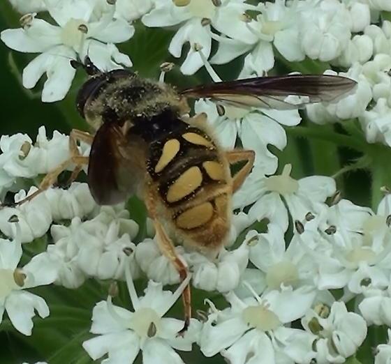 Syrphidae: Somula decora? - Somula decora