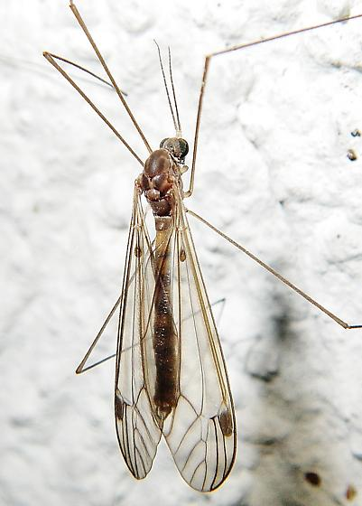 Megistocera longipennis? - Dolichopeza - male