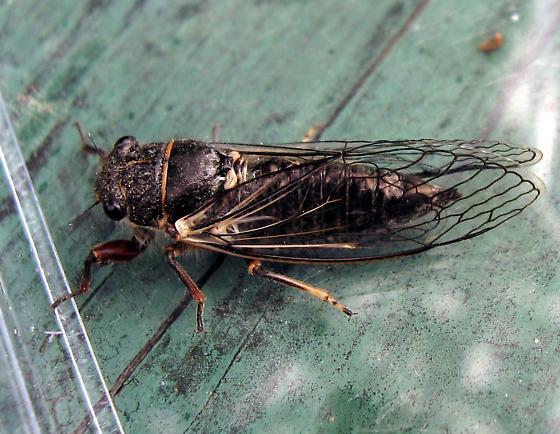 Cicadidae 6-20-10 01a - Platypedia areolata
