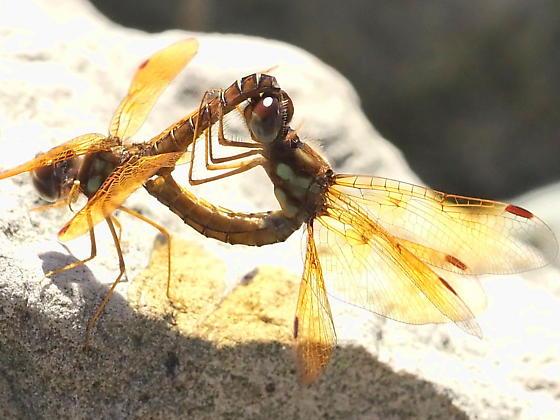 Mating wheel - Perithemis tenera - male - female