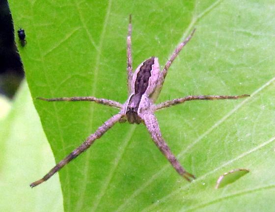 What spider, please. - Pisaurina mira