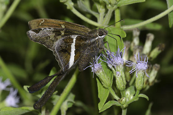 White-striped Longtail - Chioides albofasciatus - male
