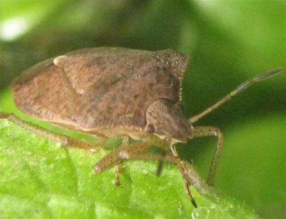 Shield bug on tomato leaf - Euschistus servus